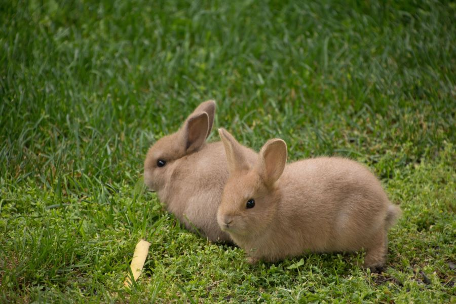 Two baby rabbits on grass
