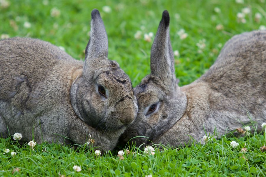 pair of rabbits lying closely on the grass