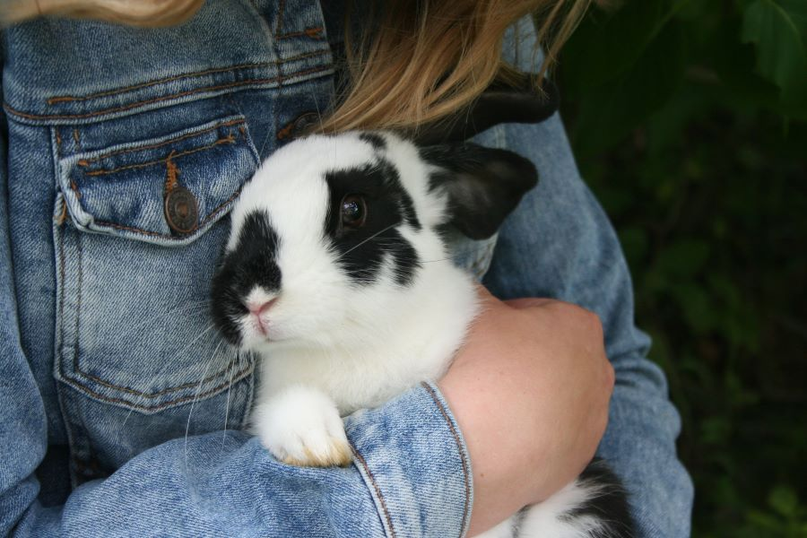 Rabbit held by owner