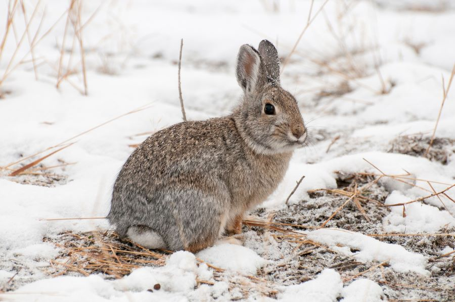 brown rabbit in the snow