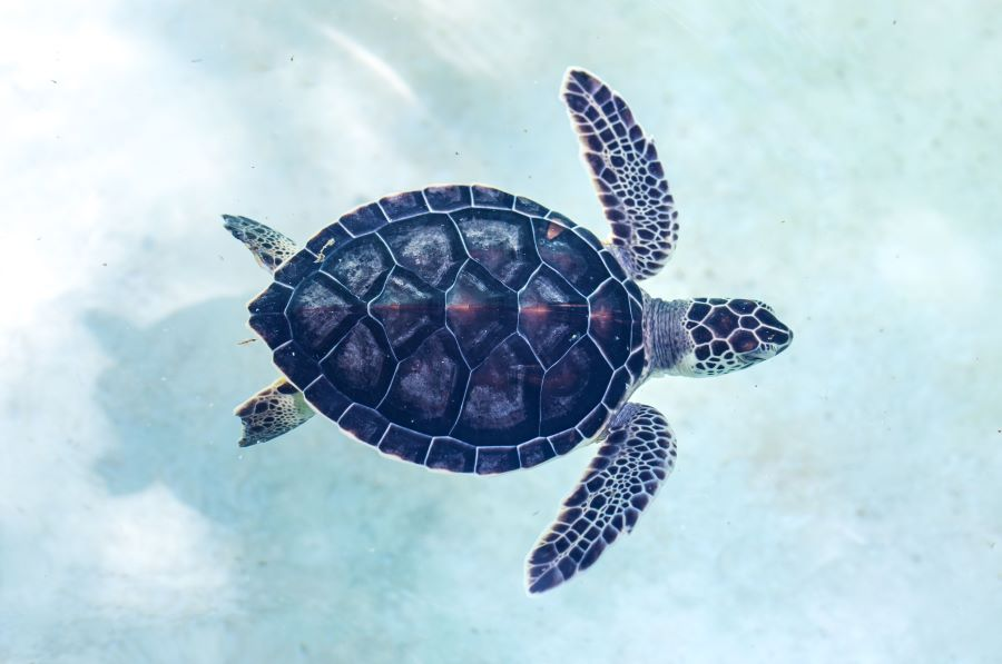 baby turtle swimming in sea