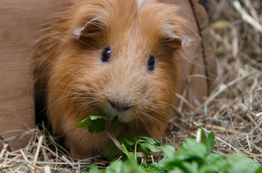 Brown guinea pig in straw