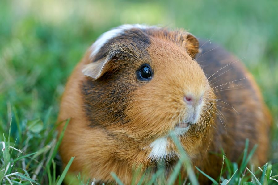 brown and white guinea pig