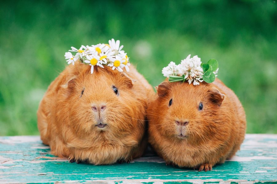 two cute guinea pigs with garlands on their heads