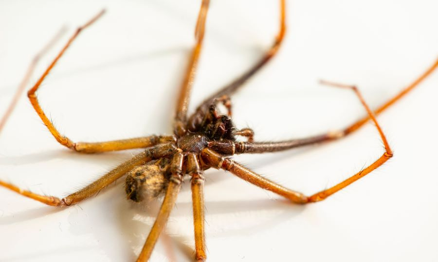 Dead spider in close up