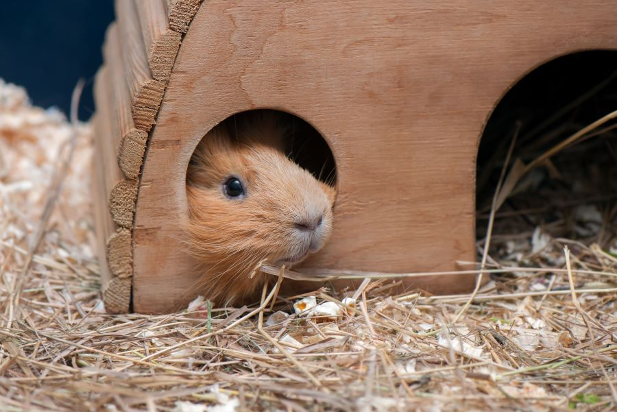 guinea pig in a wooden house in its hutch