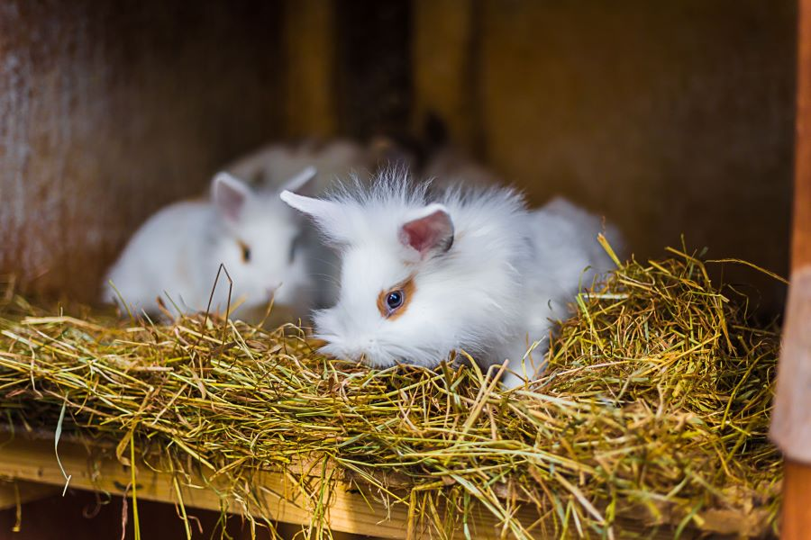 Two fluffy guinea pigs in straw in a hutch