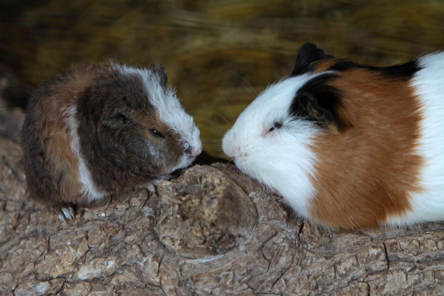 Two guinea pigs in the dark