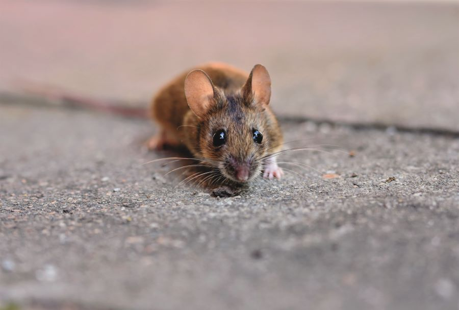 mouse on concrete ground