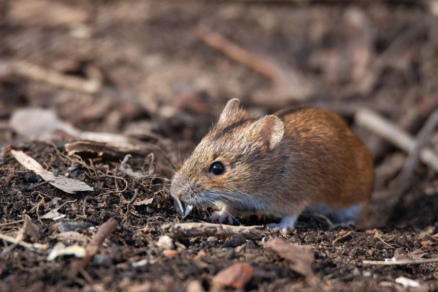 mouse on soil ground