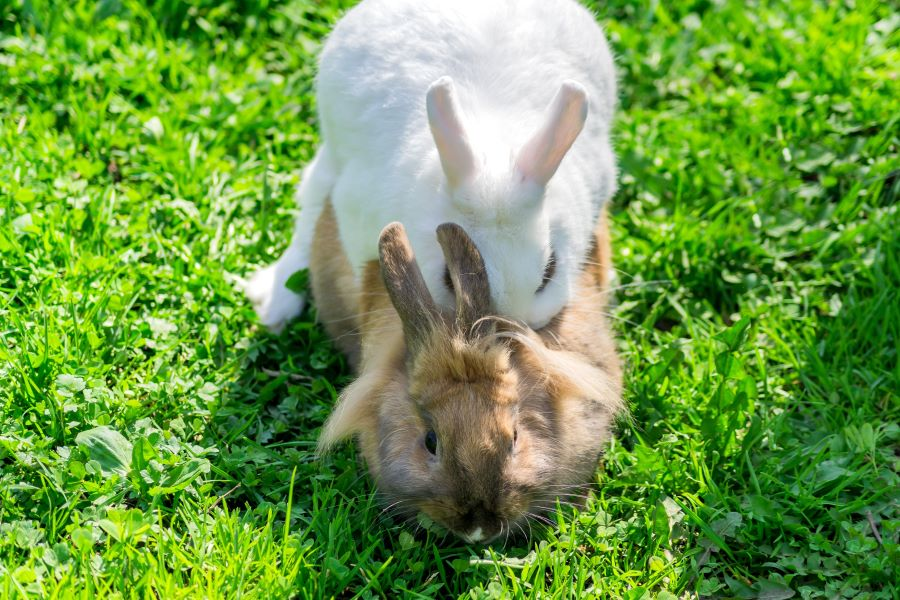 White and brown rabbit mating