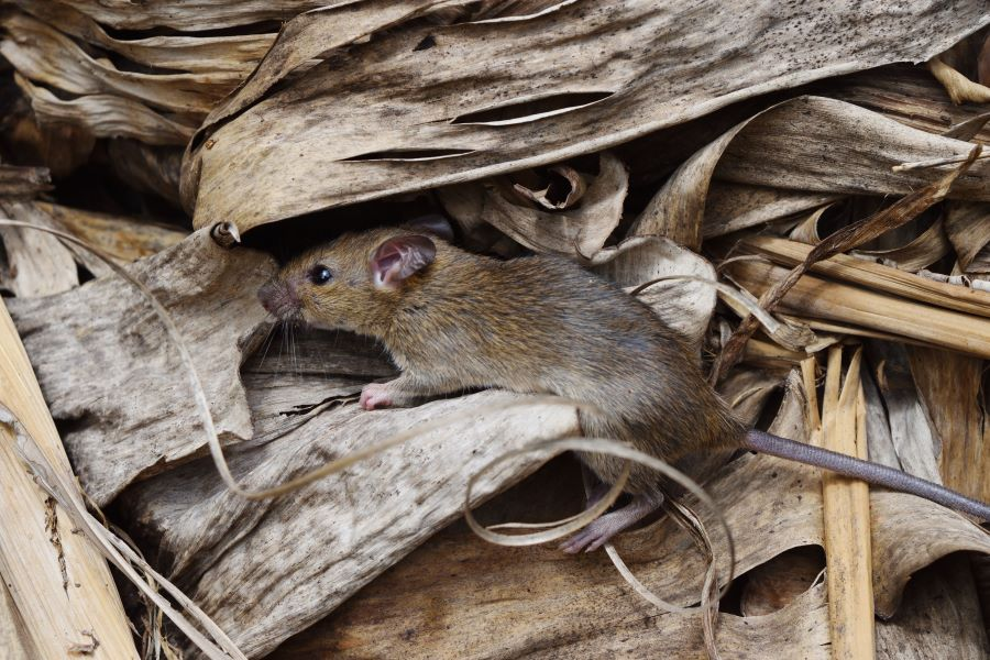 rat in some dried leaves