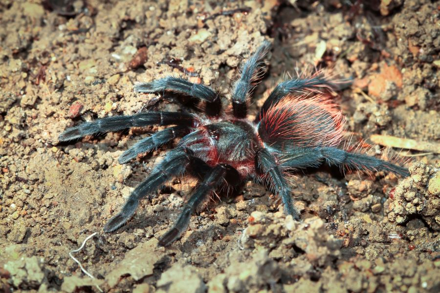Hairy black spider with red hair