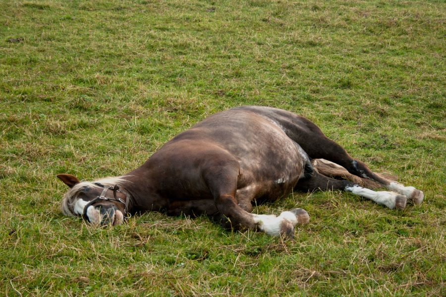 Brown horse in a field sleeping on its side