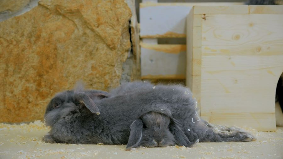 Two grey rabbits lying together