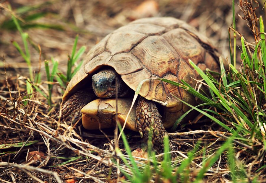 tortoise in shell in the grass