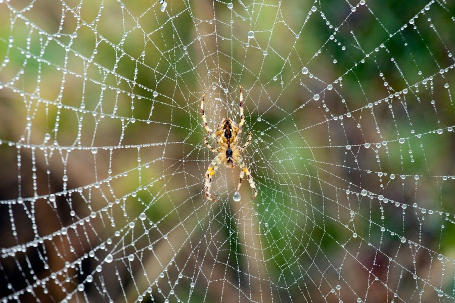 moisture droplets on a spider web with a spider