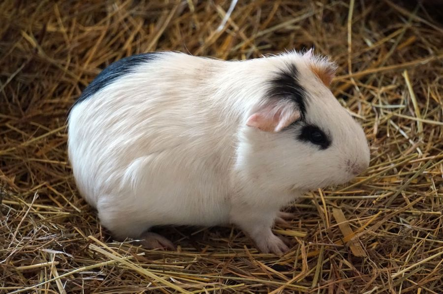 white guinea pig in some straw