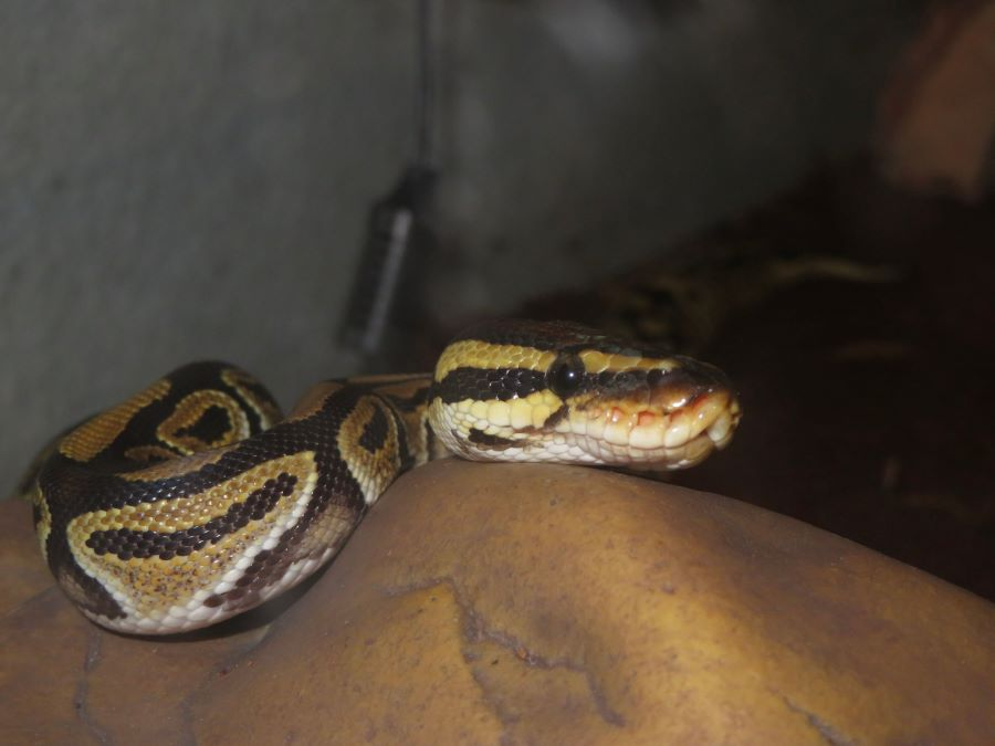Are ball pythons nocturnal - ball python on a rock
