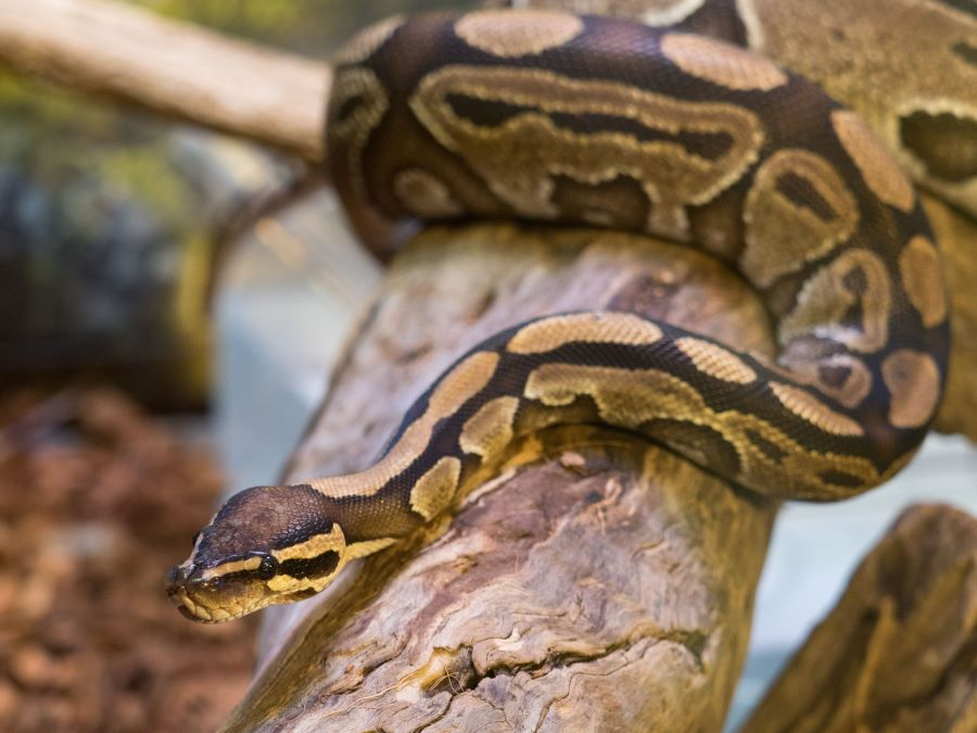 Are ball pythons nocturnal - a ball python on a tree branch