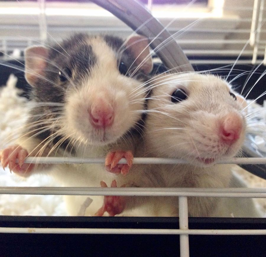 Do rats eat dead rats? Two rats in a cage with a close-up of their faces