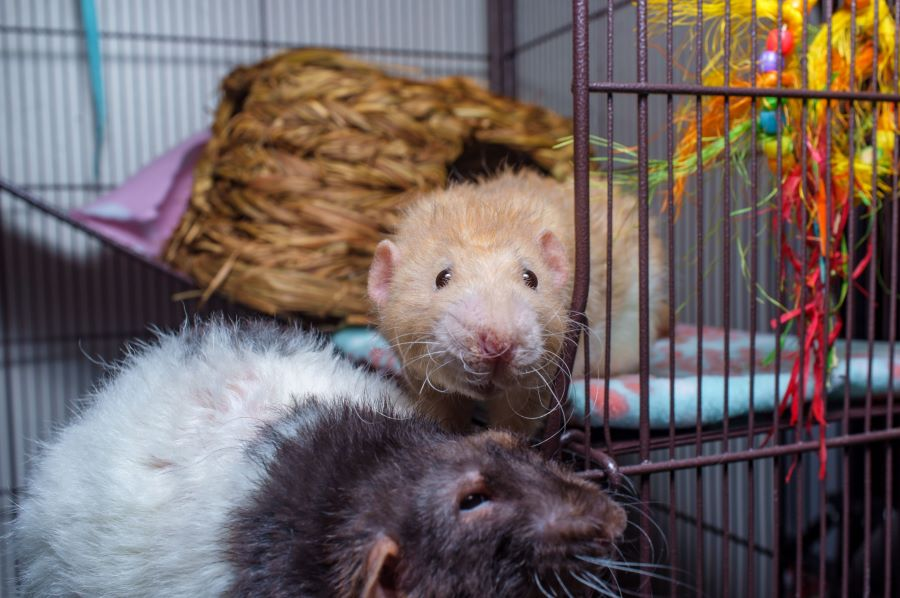 Do rats eat other rats? Two rats in a cage