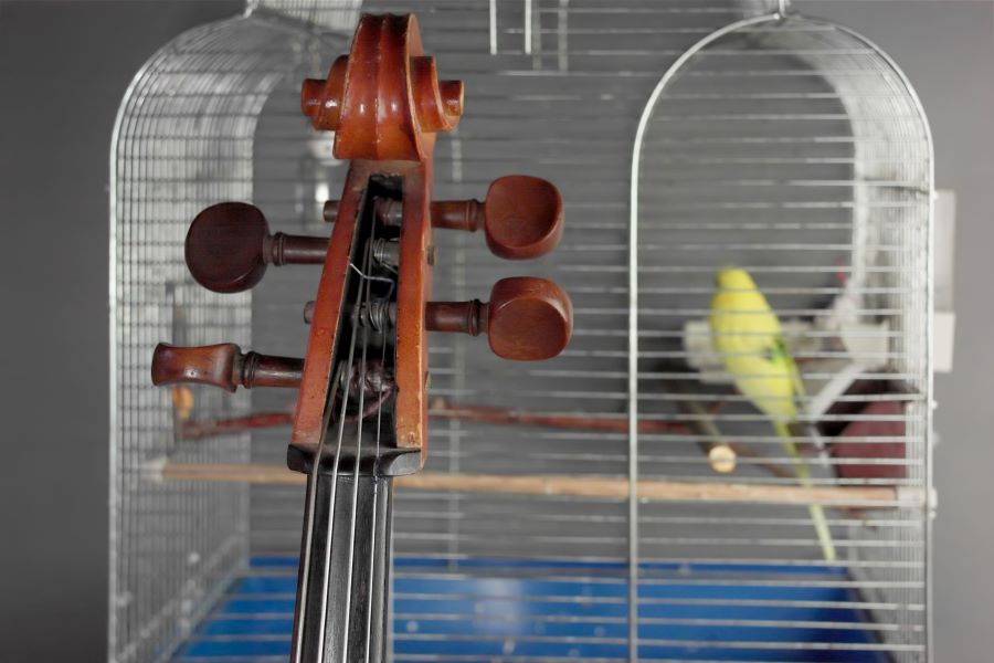Budgie in cage with cello in foreground
