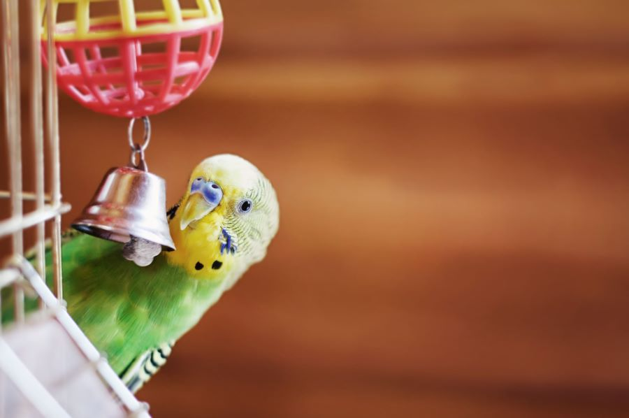 budgie with bell in cage