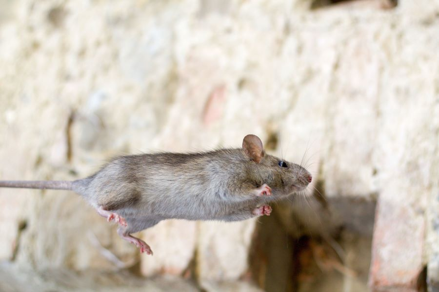 Brown mouse jumping through the air