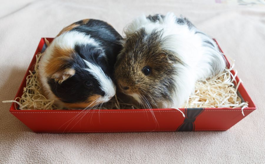 Two guinea pigs snuggling in a straw bed