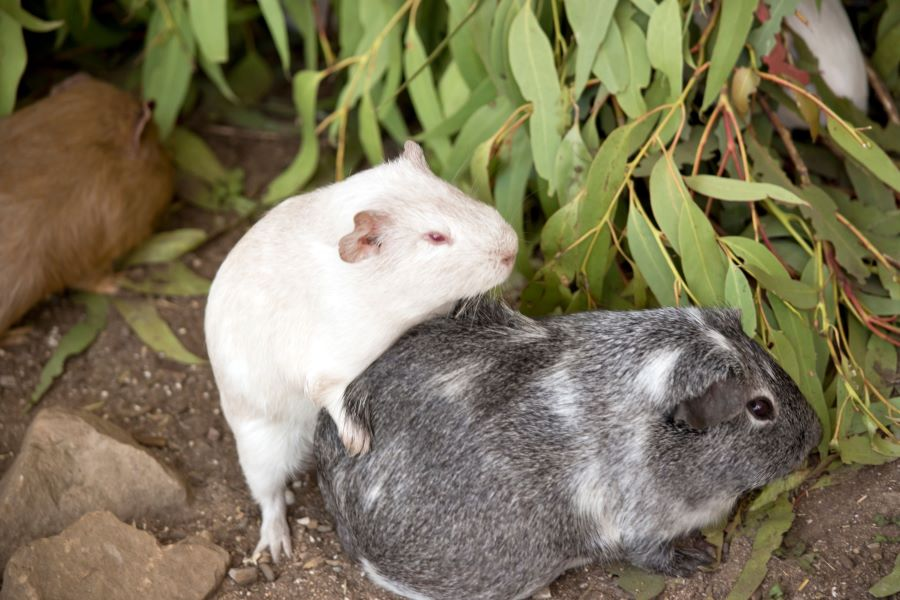 Two guinea pigs mating