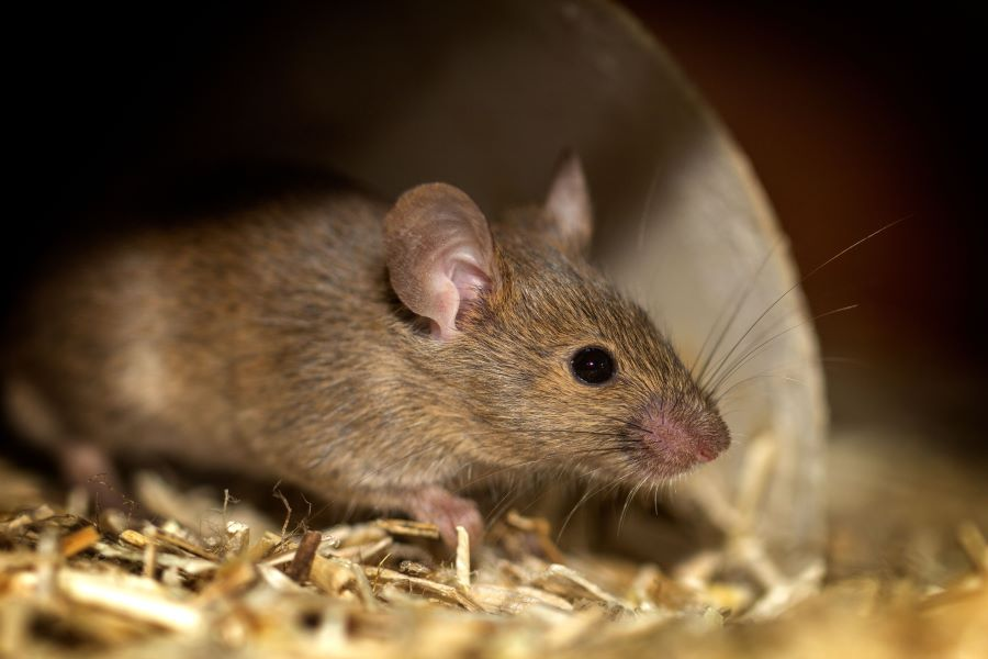 brown mouse in straw