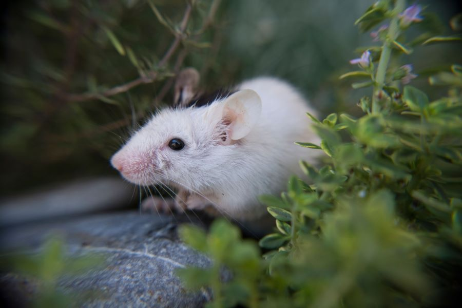 White mouse in flowers on stone