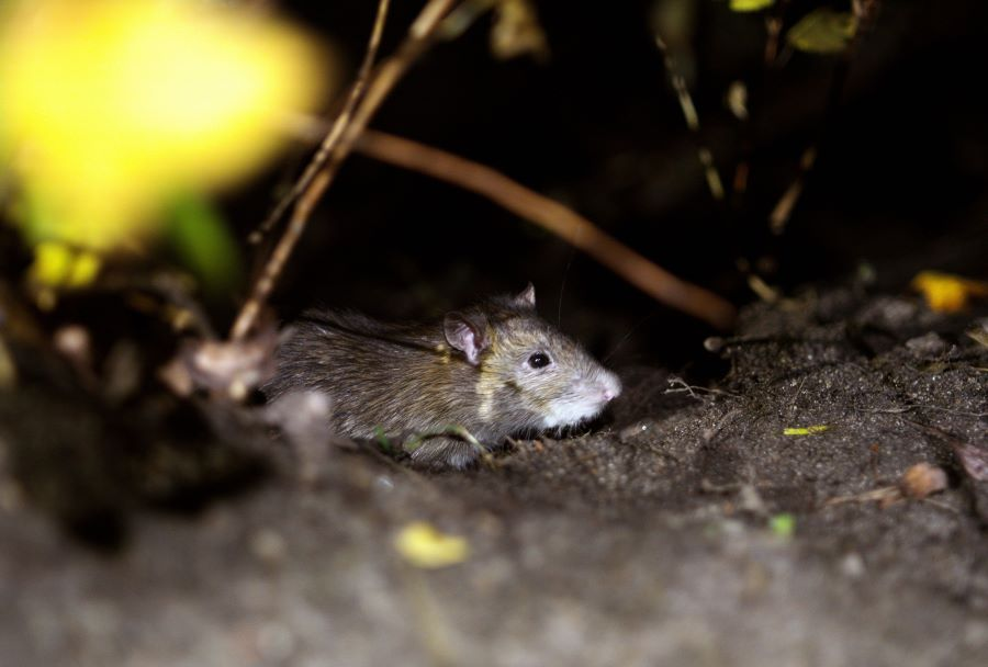 mouse on soil at nighttime