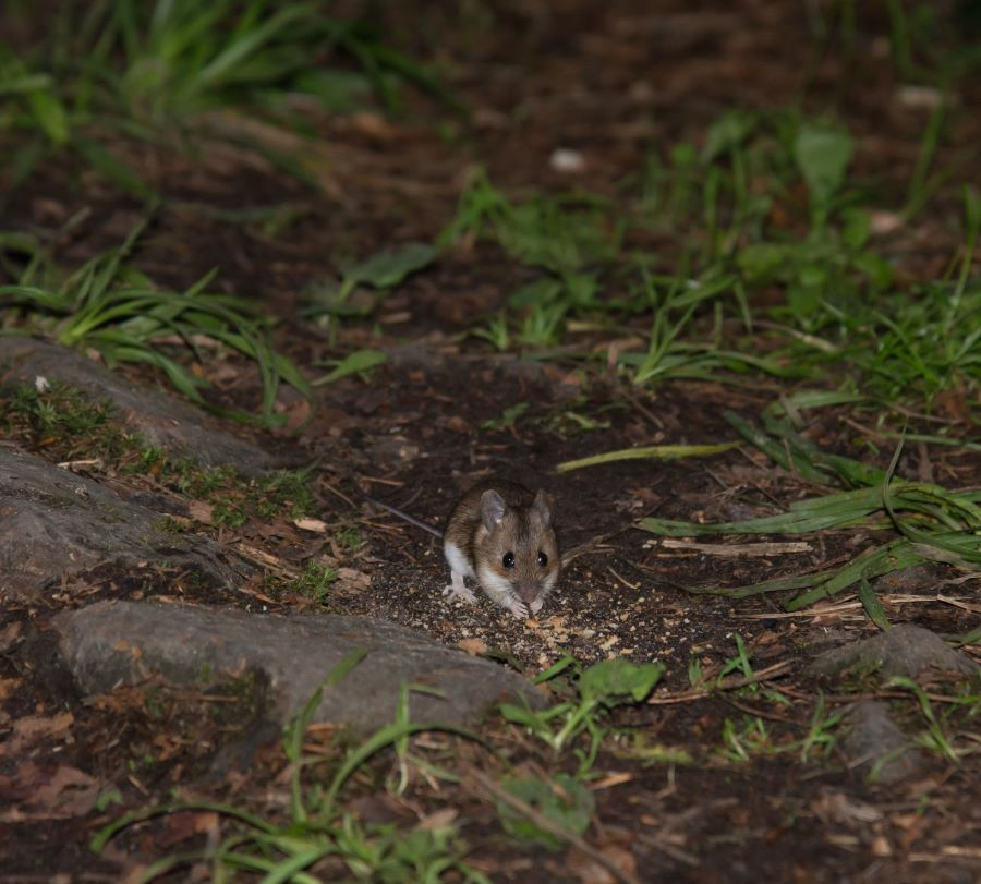 mouse on the forest floor at night