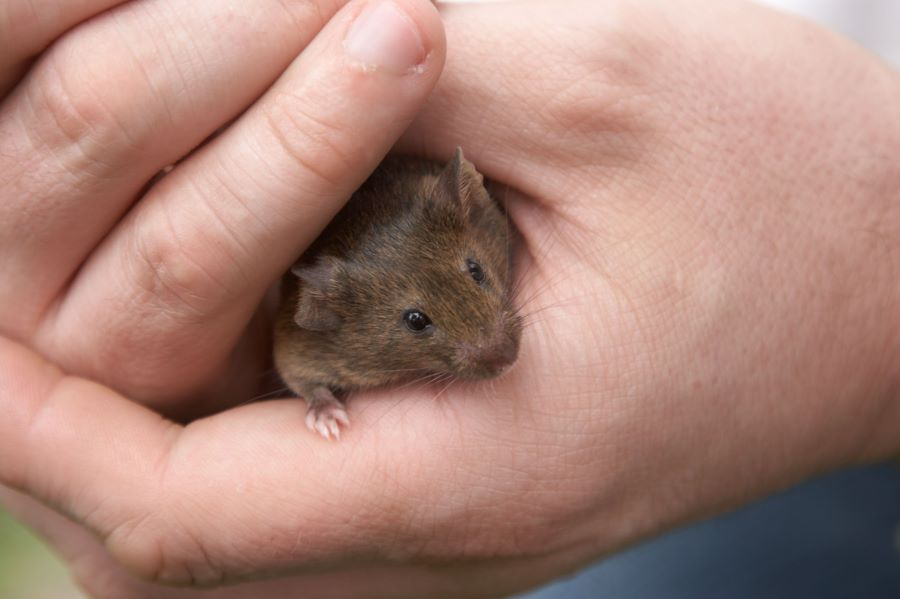 Brown mouse cupped in owner's hands