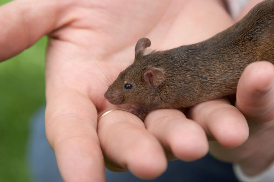 Brown mouse sitting on owner's hand