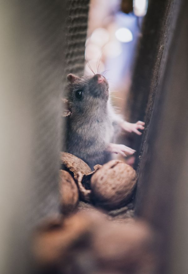 Grey mouse in walls of house