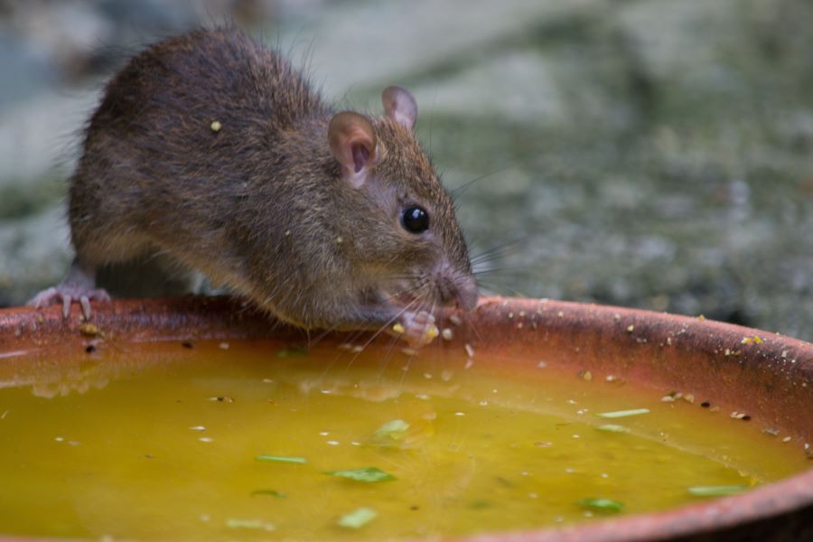 brown mouse drinking from water bowl