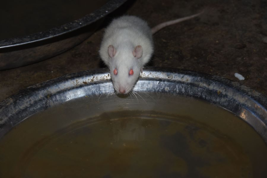 white mouse drinking water from bowl in garden