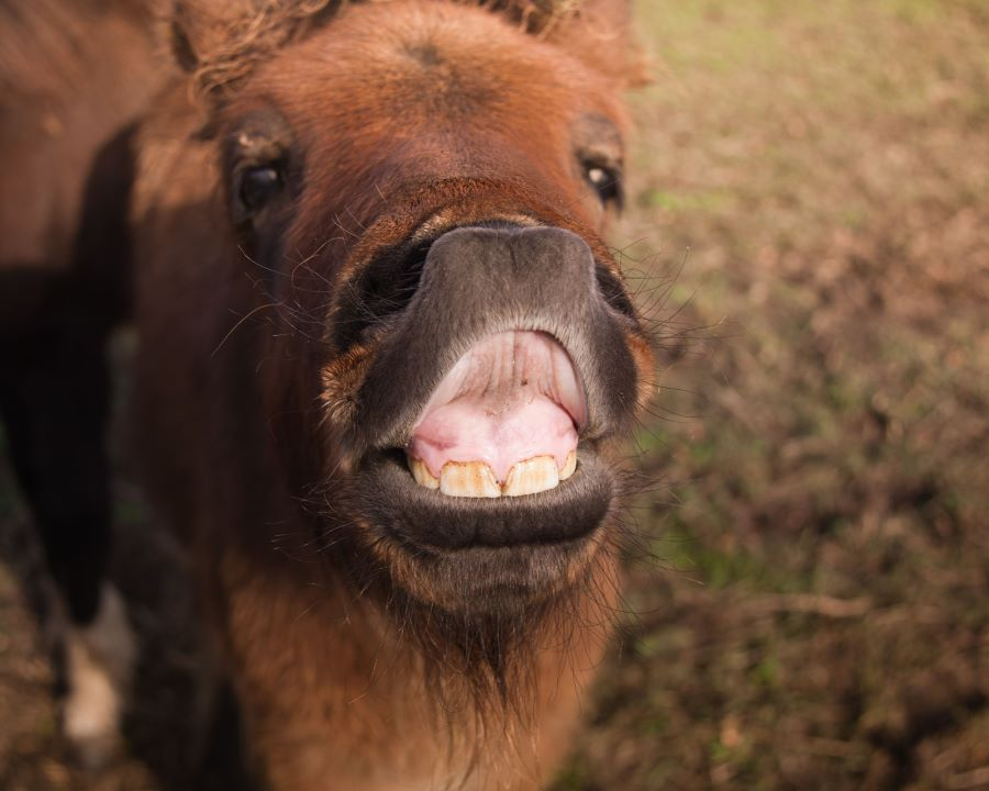 When do horses lose their baby teeth - a baby foal showing its teeth