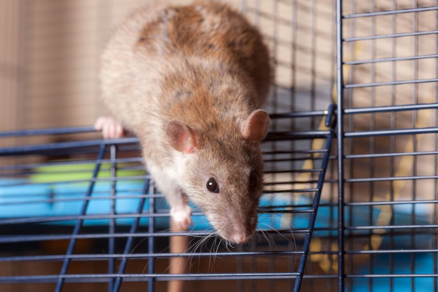Brown pet rat in a cage