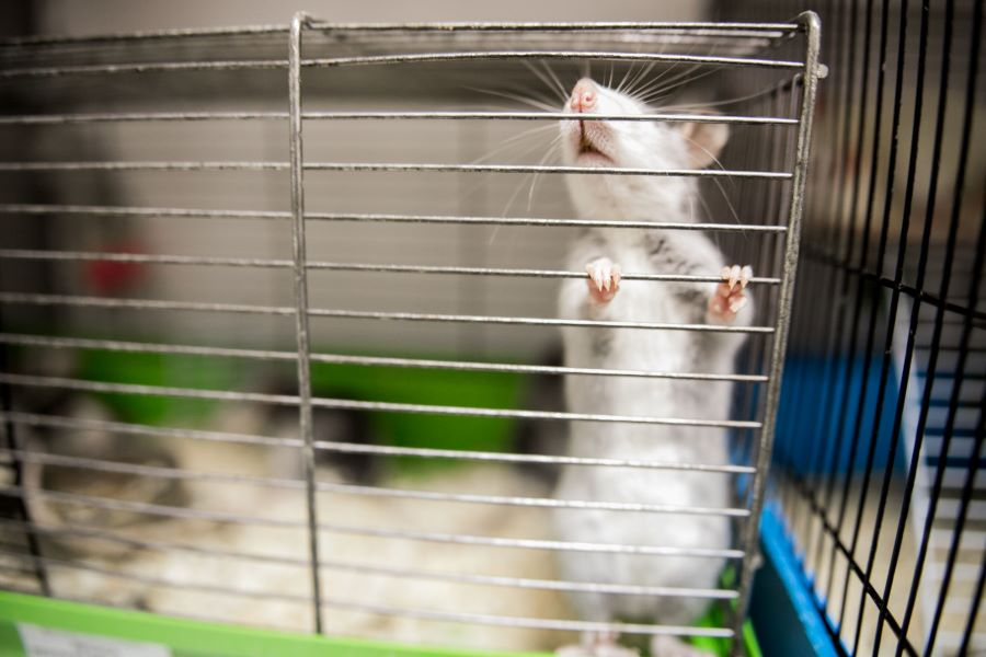 White and grey pet rat in a cage