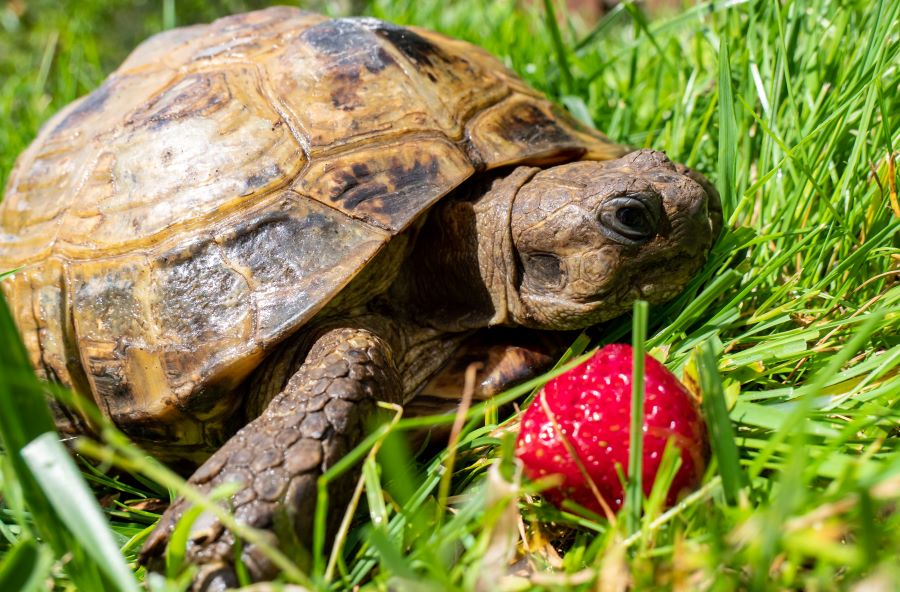 Tortoise with a strawberry on the grass