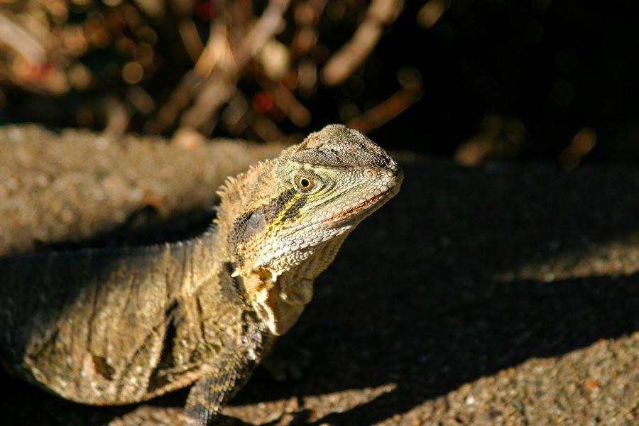Iguana sitting on rocks