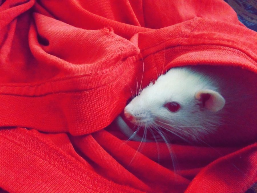 White pet mouse hiding in a piece of clothing