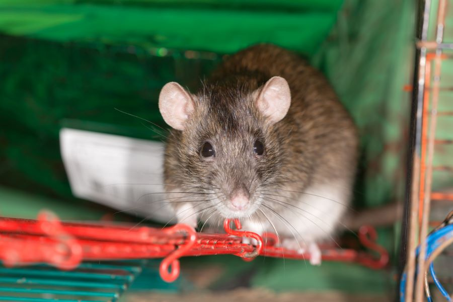 Pet grey rat in a cage on a ladder