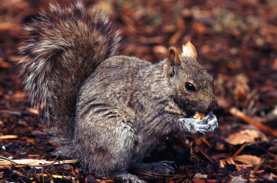 squirrel eating a nut among some leaves
