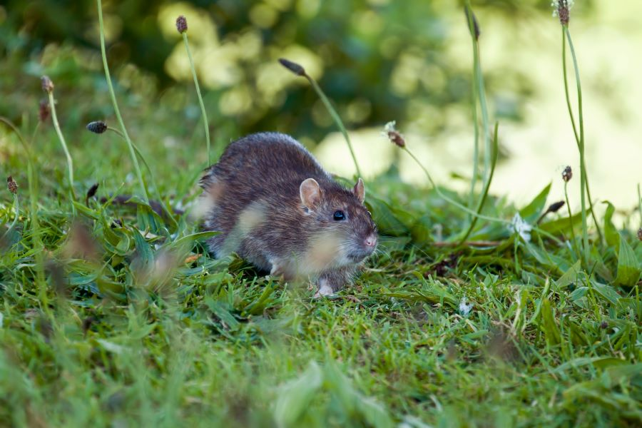 Grey rat in the grass