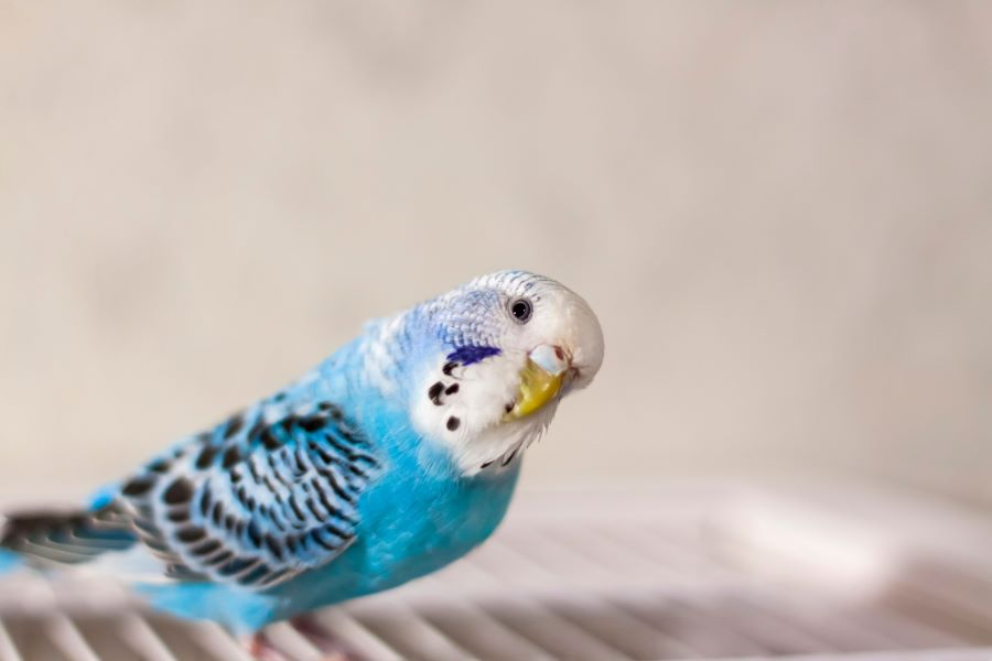 A blue budgie standing on a cage